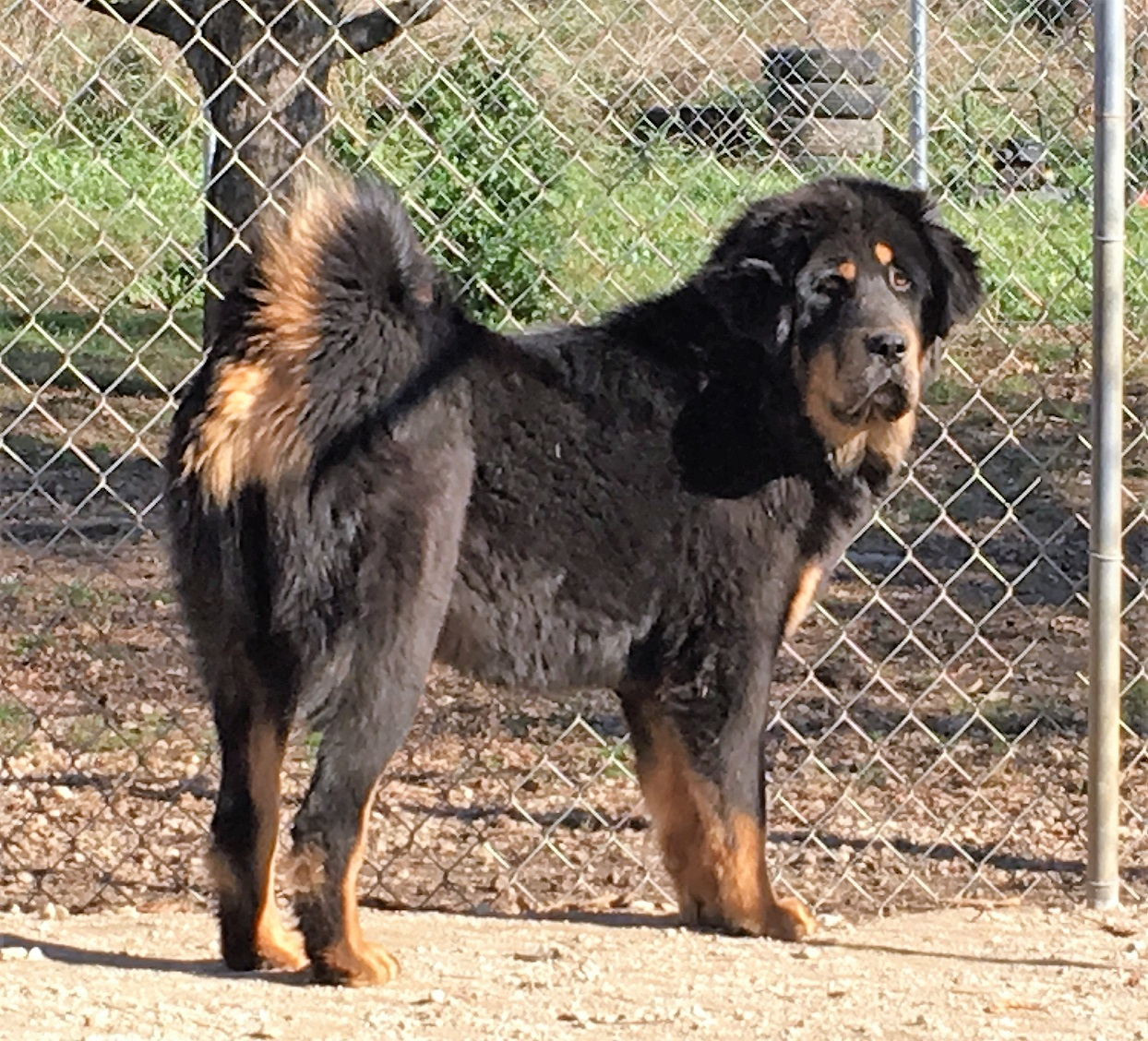 Tonka Girl 11-06-15 $1500 with breeding rights